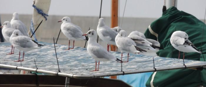 StopGull Seagull Deterrent